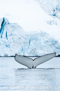 Antarctic humpback whale, raising its fluke (tail) before diving, Neko Harbor, Antarctica. Neko Harbor, Antarctic Peninsula, Antarctica, Megaptera novaeangliae, natural history stock photograph, photo id 25674