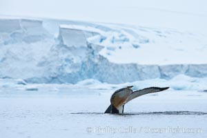 Antarctic humpback whale, raising its fluke (tail) before diving, Neko Harbor, Antarctica, Megaptera novaeangliae