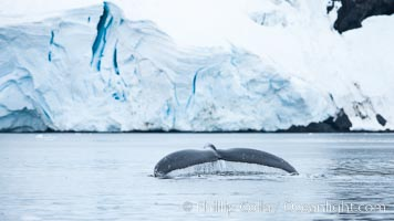 Antarctic humpback whale, raising its fluke (tail) before diving, Neko Harbor, Antarctica. Neko Harbor, Antarctic Peninsula, Antarctica, Megaptera novaeangliae, natural history stock photograph, photo id 25747