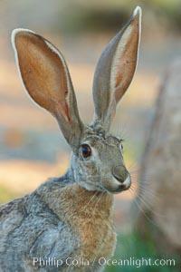Antelope jackrabbit. Amado, Arizona, USA, Lepus alleni, natural history stock photograph, photo id 22910