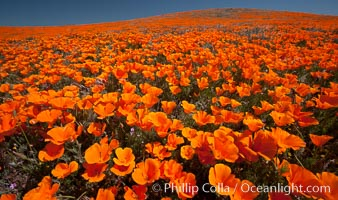 California poppies, hillside of brilliant orange color, Lancaster, CA. Antelope Valley California Poppy Reserve SNR, Lancaster, California, USA, Eschscholzia californica, Eschscholtzia californica, natural history stock photograph, photo id 25224