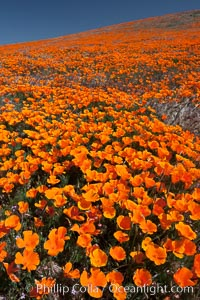 California poppies, hillside of brilliant orange color, Lancaster, CA. Antelope Valley California Poppy Reserve SNR, Lancaster, California, USA, Eschscholzia californica, Eschscholtzia californica, natural history stock photograph, photo id 25234