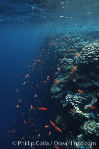 Anthias schooling over coral reef, Anthias, Pseudanthias, Egyptian Red Sea