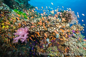 Anthias fairy basslet fish school over a Fijian coral reef, polarized and swimming together again a strong current. Fiji, Pseudanthias, Vatu I Ra Passage, Bligh Waters, Viti Levu  Island