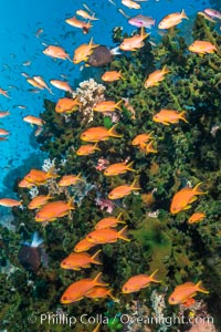 Anthias fish school around green fan coral, Fiji, Pseudanthias, Bligh Waters