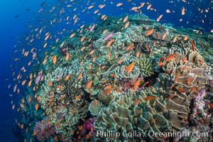 Anthias fishes school in strong currents above hard and soft corals on a Fijian coral reef, Fiji, Pseudanthias, Bligh Waters
