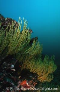 Black coral, Antipathidae, Cousins