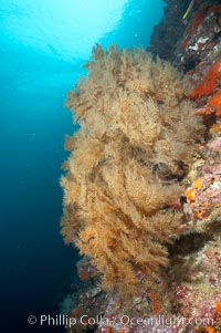 Black coral.  The fan is five feet in diameter and the color of the live coral is more yellow-green than black, Antipathidae, Cousins