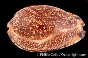 Arabian Cowrie, Cypraea arabica immanis, natural history stock photograph, photo id 08524