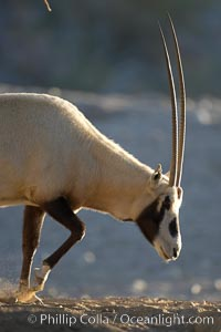 Arabian oryx.  The Arabian oryx is now extinct in the wild over its original range, which included the Sinai and Arabian peninsulas, Jordan, Syria and Iraq.  A small population of Arabian oryx have been reintroduced into the wild in Oman, with some success, Oryx leucoryx