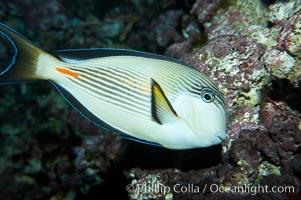 Arabian surgeonfish, Acanthurus sohal