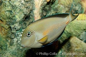 Sohal tang or Arabian surgeonfish, Acanthurus sohal