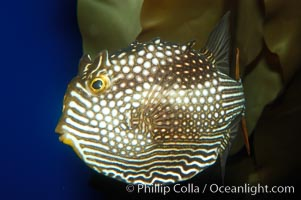 Ornate cowfish, female coloration., Aracana ornata, natural history stock photograph, photo id 09254