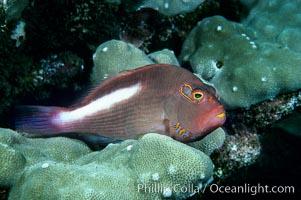 Arc eye hawkfish, Paracirrhites arcatus, Maui