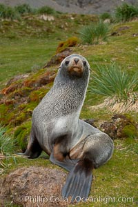 Antarctic fur seal, on grass slopes high above Fortuna Bay, Arctocephalus gazella