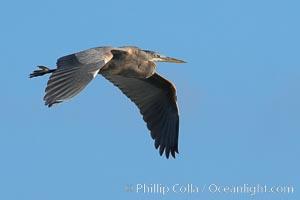 Great blue heron. La Jolla, California, USA, Ardea herodias, natural history stock photograph, photo id 15567