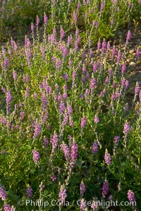 Lupine color the sides of the Borrego Valley in spring.  Heavy winter rains led to a historic springtime bloom in 2005, carpeting the entire desert in vegetation and color for months, Lupinus arizonicus, Anza-Borrego Desert State Park, Anza Borrego, California