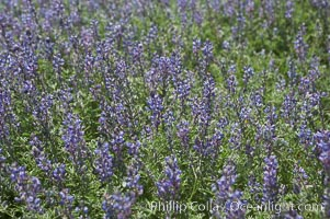 Arizona lupine blooms in spring in the hills above Anza-Borrego Desert State Park, Montezuma Drive, Lupinus arizonicus, Anza Borrego, California
