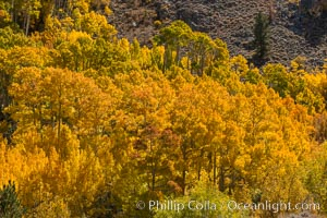 Turning aspen trees in Autumn, South Fork of Bishop Creek Canyon. Bishop Creek Canyon, Sierra Nevada Mountains, California, USA, natural history stock photograph, photo id 34157