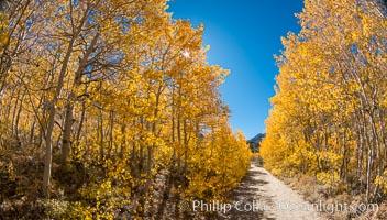 Turning aspen trees in Autumn, South Fork of Bishop Creek Canyon, Bishop Creek Canyon, Sierra Nevada Mountains