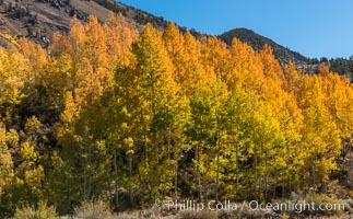 Turning aspen trees in Autumn, South Fork of Bishop Creek Canyon. Bishop Creek Canyon, Sierra Nevada Mountains, California, USA, natural history stock photograph, photo id 34160