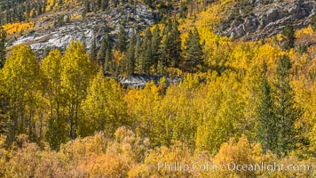 Turning aspen trees in Autumn, South Fork of Bishop Creek Canyon. Bishop Creek Canyon, Sierra Nevada Mountains, California, USA, natural history stock photograph, photo id 34161