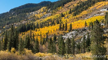 Turning aspen trees in Autumn, South Fork of Bishop Creek Canyon. Bishop Creek Canyon, Sierra Nevada Mountains, California, USA, natural history stock photograph, photo id 34162