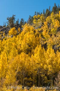 Turning aspen trees in Autumn, South Fork of Bishop Creek Canyon. Bishop Creek Canyon, Sierra Nevada Mountains, California, USA, natural history stock photograph, photo id 34163