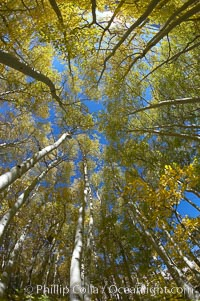 Aspen trees display Eastern Sierra fall colors, Lake Sabrina, Bishop Creek Canyon. Bishop Creek Canyon, Sierra Nevada Mountains, Bishop, California, USA, Populus tremuloides, natural history stock photograph, photo id 17512