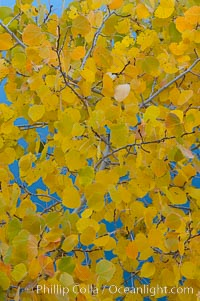 Aspen trees display Eastern Sierra fall colors, Lake Sabrina, Bishop Creek Canyon. Bishop Creek Canyon, Sierra Nevada Mountains, Bishop, California, USA, Populus tremuloides, natural history stock photograph, photo id 17543