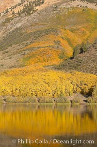 Aspens changing into fall colors, yellow and orange, are reflected in North Lake in October, Bishop Creek Canyon, Eastern Sierra. Bishop Creek Canyon, Sierra Nevada Mountains, Bishop, California, USA, Populus tremuloides, natural history stock photograph, photo id 17551