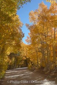 Aspen trees displaying fall colors rise alongside a High Sierra road near North Lake, Bishop Creek Canyon, Populus tremuloides, Bishop Creek Canyon, Sierra Nevada Mountains