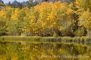 Aspen trees reflected in Cardinal Pond, Aspendel, Bishop Creek Canyon. Bishop Creek Canyon, Sierra Nevada Mountains, Bishop, California, USA, Populus tremuloides, natural history stock photograph, photo id 17529