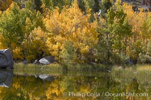 Aspen trees reflected in Cardinal Pond, Aspendel, Bishop Creek Canyon, Populus tremuloides, Bishop Creek Canyon, Sierra Nevada Mountains