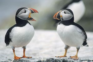 Atlantic puffin, mating coloration. Machias Seal Island, Maine, USA, Fratercula arctica, natural history stock photograph, photo id 03135