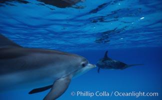 Atlantic spotted dolphin, Stenella frontalis