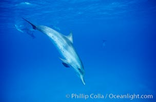 Atlantic spotted dolphin. Bahamas, Stenella frontalis, natural history stock photograph, photo id 04899
