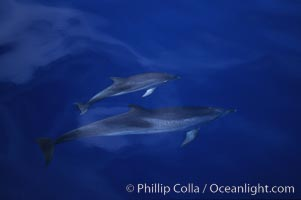 Atlantic spotted dolphin. Sao Miguel Island, Azores, Portugal, Stenella frontalis, natural history stock photograph, photo id 04974