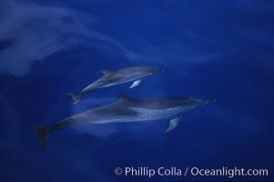 Atlantic spotted dolphin, Stenella frontalis, Sao Miguel Island
