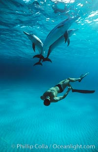 Olympian champion swimmer Matt Biondi swims with wild atlantic spotted dolphins. Bahamas, Stenella frontalis, natural history stock photograph, photo id 19898