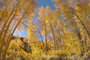 Aspen trees displaying fall colors near North Lake, Bishop Creek Canyon, Populus tremuloides, Bishop Creek Canyon, Sierra Nevada Mountains