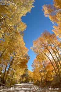 Aspen trees displaying fall colors rise alongside a High Sierra road near North Lake, Bishop Creek Canyon. Bishop Creek Canyon, Sierra Nevada Mountains, Bishop, California, USA, Populus tremuloides, natural history stock photograph, photo id 17556