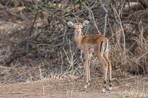 Baby impala, Meru National Park, Kenya, Aepyceros melampus