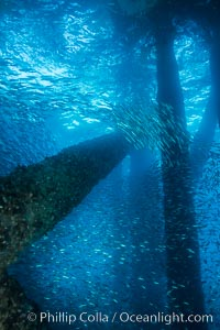 Bait fish schooling underneath Oil Rig Elly. Long Beach, California, USA, natural history stock photograph, photo id 31143