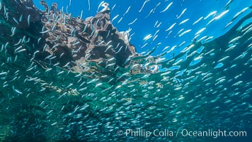 Baitfish schooling at the surface, Los Islotes, Sea of Cortez