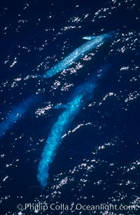 Four blue whales (including calf) socializing,  Baja California (Mexico)., Balaenoptera musculus,  Copyright Phillip Colla, image #03357, all rights reserved worldwide.