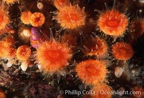 Orange cup coral, Balanophyllia elegans, Monterey, California