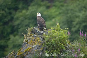 Bald eagle. Kenai Fjords National Park, Alaska, USA, Haliaeetus leucocephalus, natural history stock photograph, photo id 17376