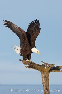Bald eagle standing on perch, talons grasping wood, wings spread as it balances, Haliaeetus leucocephalus, Haliaeetus leucocephalus washingtoniensis, Kachemak Bay, Homer, Alaska