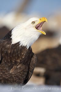 Bald eagle, appears to be calling vocalizing, actually is swallowing a fish, a bit of which is just visible in the eagles mouth, Haliaeetus leucocephalus, Haliaeetus leucocephalus washingtoniensis, Kachemak Bay, Homer, Alaska